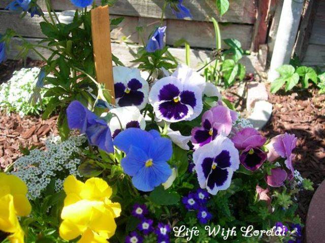 Pansies in the Garden