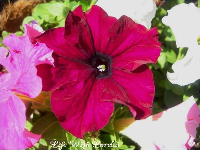 Petunias in the Garden