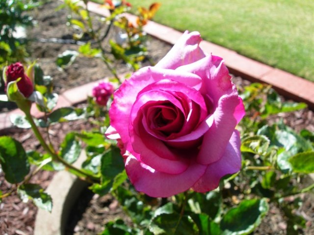 The Neptune Rose bush I bought for Luke our first Christmas... it smells like Raspberry PEZ Candies!
