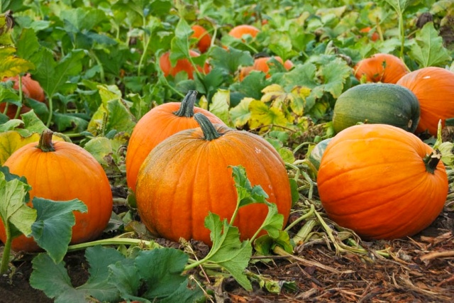 Pumpkin-Patch- indiancountrytodaymedianetwork.com